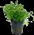 Lilaeopsis novaezelandiae